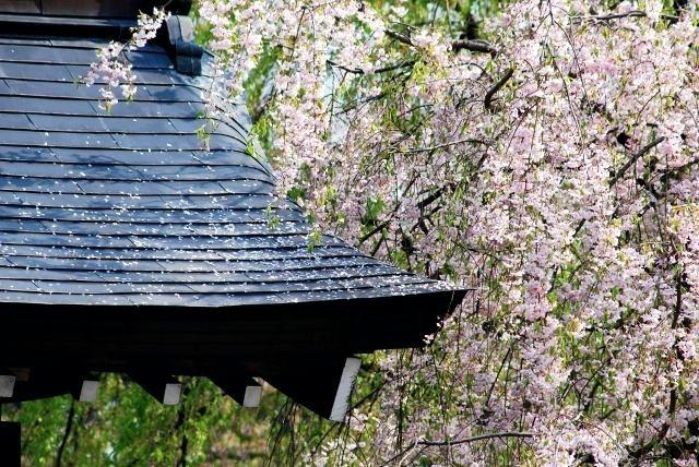 子どもと一緒に行きたい東北地方の花見・桜イベント5選