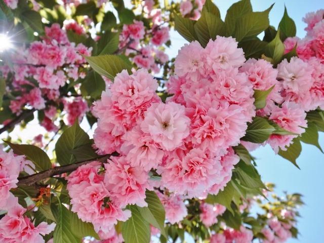 子どもと一緒に行きたい関東の花見・桜イベント5選