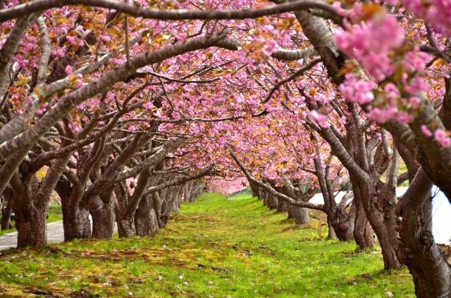 子どもと一緒に行きたい北海道の花見・桜イベント5選