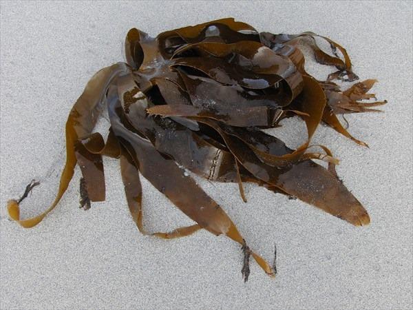 kelp-706294_1280